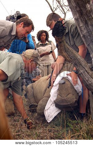 Series 6 Of 6: Dehorning Of Rhino Calf After Been Darted And Stabilized