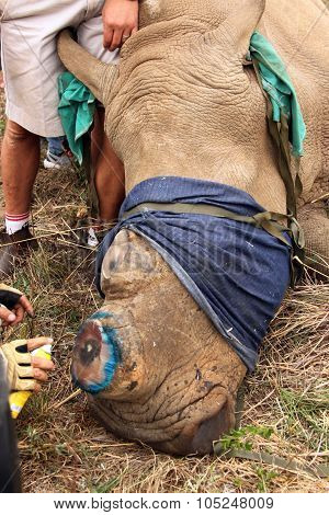 Antiseptic Spray Used  On Horn Remainder Of Dehorned Rhino