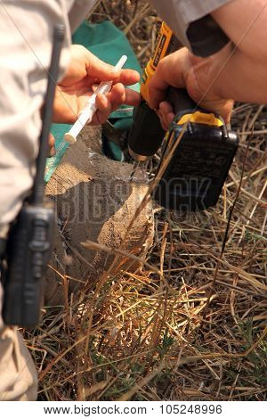 Veterinarian Inserting New Microchip Into Remainder Of Rhinos Horn