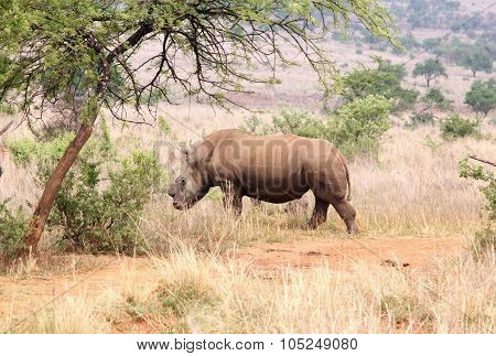 Defaced Dehorned Mother Rhino Walking Off Into Bush After Process