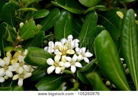 Small White Flowers Jasminum Sp. Aka Jasmine Flowers