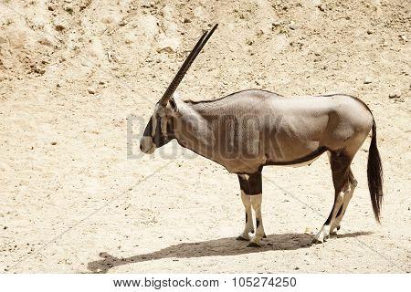 Oryx Gazella Or Gemsbok