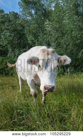 Staring White Cow From Close
