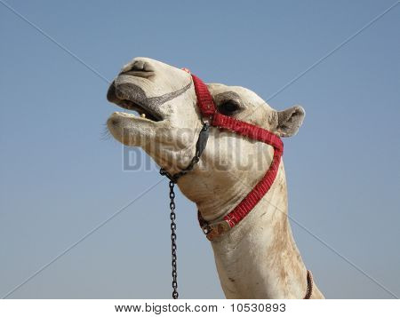 Egyptian Camel on the Giza Plateau near the Great Pyramids poster