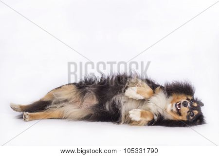Dog Shetland Sheepdog lying isolated on white background poster