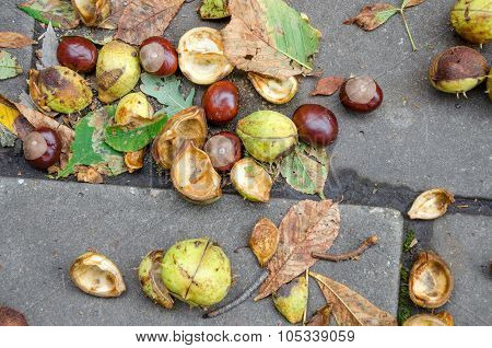 The Chestnut Acorns Falling To The Ground.