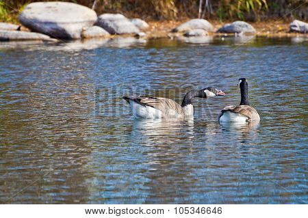 Canadian Goose Honking At Companion