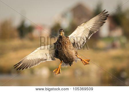 Mallard Aerial Dance
