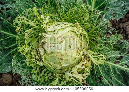 Damaged Head Of Cabbage