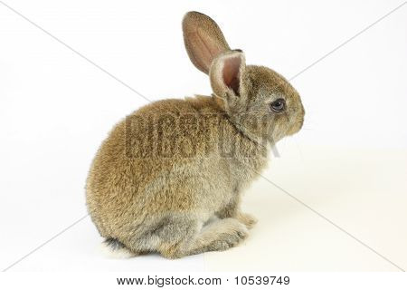 Little rabbit shot on white  background