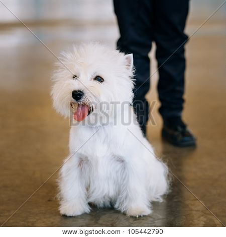 White West Highland White Terrier - Westie, Westy Dog