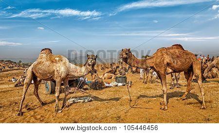 Panoramic image of camels at Pushkar Mela (Pushkar Camel Fair). Pushkar, Rajasthan, India