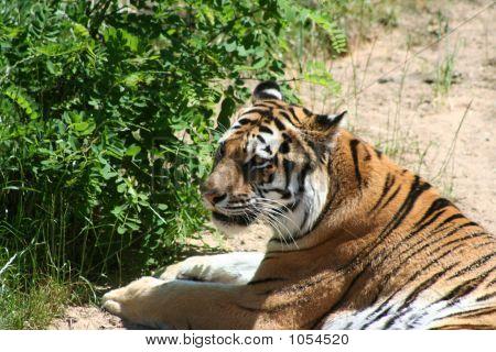 Tiger 104