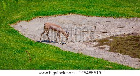 Thirsty Gazelle