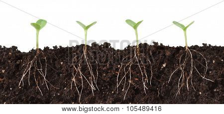 Seedlings And Roots Cutaway