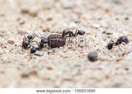 group of ants carrying a seed - shallow DOF