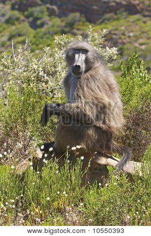 Chacma Baboon Sitting In Fynbos