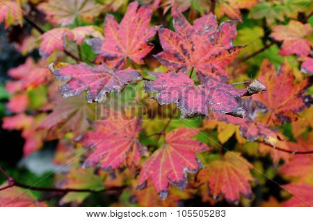 Colorful fall leaves in Vancouver British Columbia