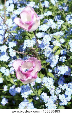 Tulips and blue forget-me-nots