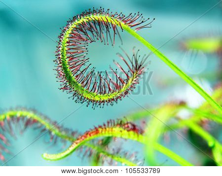super macro of beautiful sundew ( drosera ) vintage style Floristic abstract background