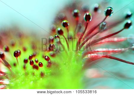 super macro of beautiful sundew ( drosera )