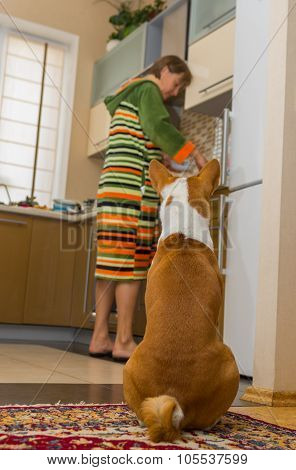 basenji is waiting till servant cook his lunch