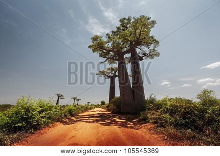 Baobab trees along the unpaved red road at sunny hot day. Madagascar