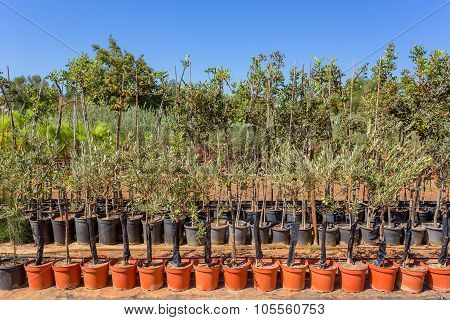 Young Saplings Olive Trees. The Pots For Reproduction.