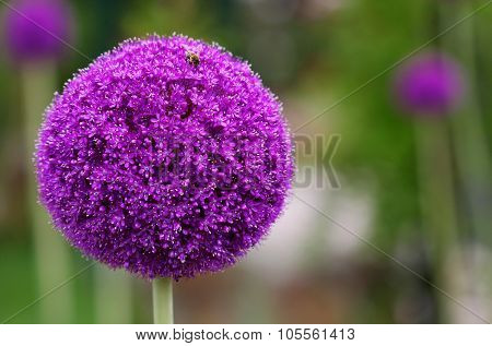 The Bright Round Alium Flower Macro Shot