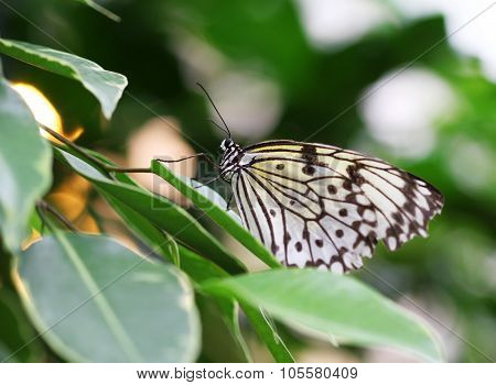 Idea Leuconoe Butterfly Sitting On Green Leave Macro Shot