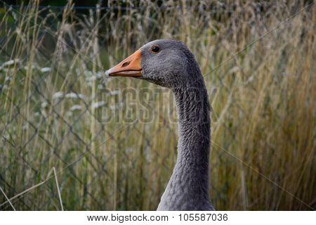 Domestic Geese / Goose Family Graze On Traditional Village Barnyard. Gander Feed On Rural Farm Yard