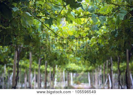Sunny Spring Vineyard