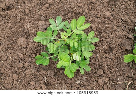 Young Peanut Plant At A Local Farm. Blossoming Groundnut Plant. Organic Farming And Gardening.