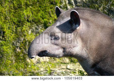 Head Of Tapir