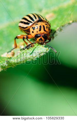 Colorado Potato Striped Beetle - Leptinotarsa Decemlineata Is A Serious Pest Of Potatoes plants poster