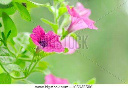 Petunia,petunia Hybrida