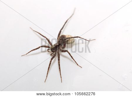 Macro Of A Wolf Spider (pardosa Lugubris) With Egg Sack