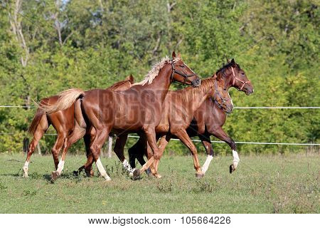 Purebred Horses Runs On Meadow In A Sunny Day Natural Background