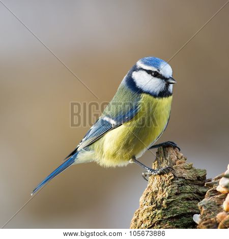 Blue Tit On Stub