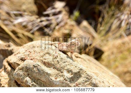 Mimetic Lizard At Petrified Forest, Khorixas, Namibia