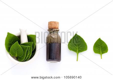 Country Borage,indian Borage,coleus Amboinicus Lour With White Mortar And Essential Extract Oil Isol