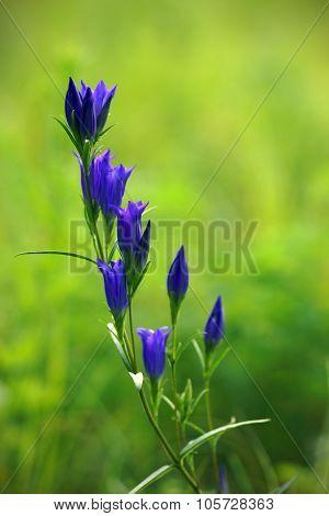 Meadow Gentian