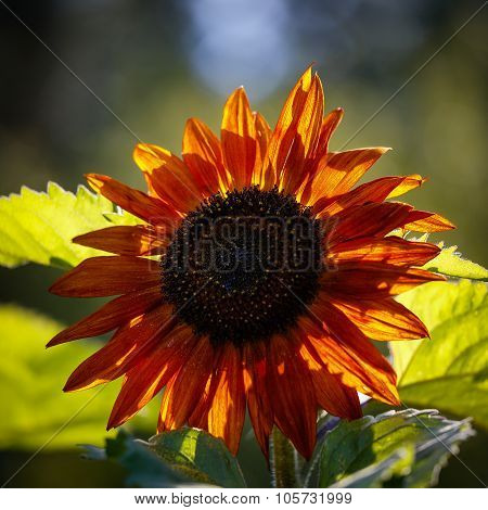 Close-up Of  Redish Sunflower