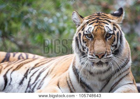Tiger (Panthera tigris) closeup. Generic Tiger Portrait In Captivity. poster