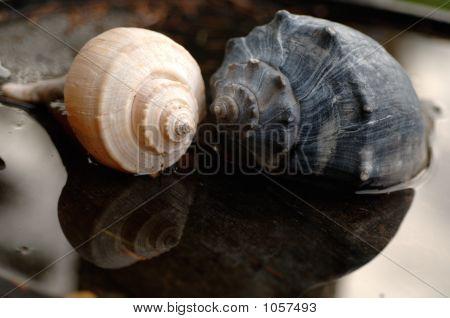 Pair Of Whelk Shells