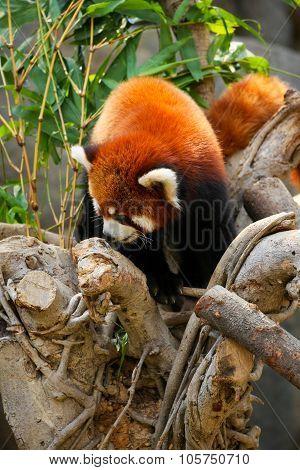 Red panda climbing on tree