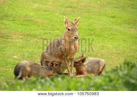 Patagonian Mara Breastfeeding It's Cubs