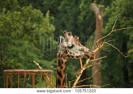 Rothschild's Giraffe (also Known As Baringo Giraffe Or Ugandan Giraffe) Eating Small Tree