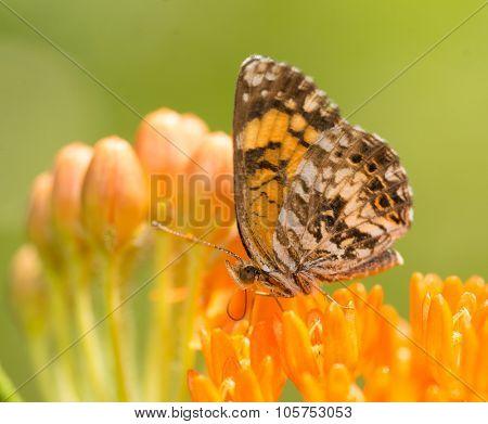 Gorgone Checkerspot butterfly feeding on an orange Butterflyweed