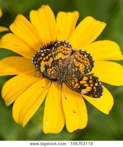 Dorsal view of a Gorgone Checkerspot butterfly on a yellow Black-eyed Susan flower